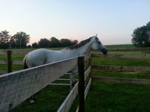Misty in the dry lot, gazing out at her back field.